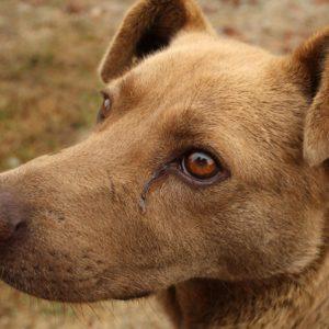 conjonctivite de chien